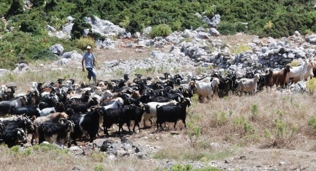 Karaburun Kırkım Festivali 9 Temmuz'da …