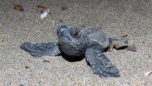 Kuşadası'nda 34 yavru caretta caretta denizle buluştu