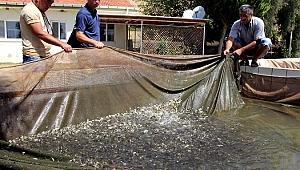 Barajlara 2 milyon yavru balık