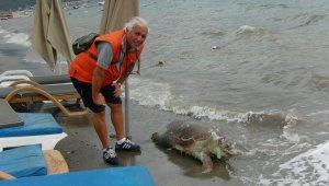 Teknenin pervanesinden yara alan caretta caretta ölüsü sahile vurdu
