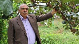 Rize genelinde 4 bin ton kivi hasadı gerçekleşti