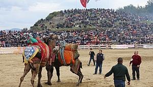 36. Selçuk Efes Deve Güreşleri Festivali yapıldı