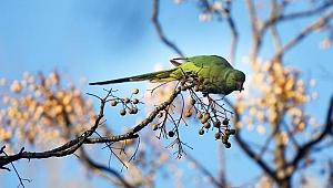 Yeşil papağanlar mevsimleri aşka çağırıyor…!