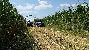 Küçükmenderes Ovası, mısır tarlasına döndü