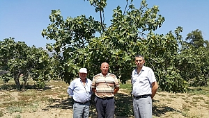 Ödemiş'te incir üreticisini iklimsel şartlar vurdu