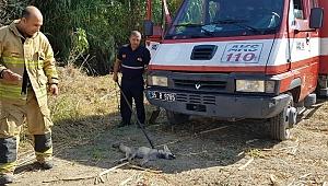 Yaralı tilki için sosyal medyadan canlı yayınla seferber oldu