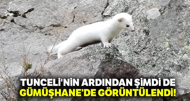 Beyaz Gelincik Tunceli'nin ardından Gümüşhane'de de görüntülendi