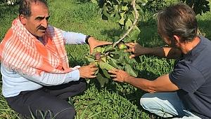Taze siyah incirin ihracatı 29 Temmuz'da başlıyor