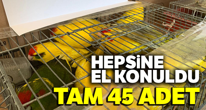 Kaçak papağan operasyonu: 45 papağana el konuldu