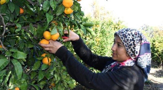 Satsuma cinsi mandalinada, hasat zamanı