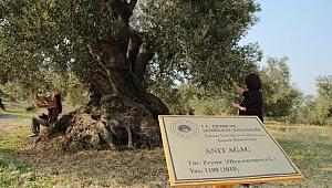 Asırlık Zeytin Ağacı Tescillendi