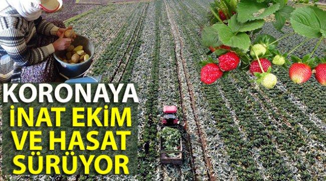 Koronaya inat ekim ve hasat sürüyor