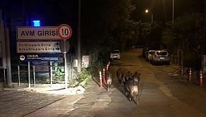 Muğla'da aç kalan domuzlar ilçe merkezine indi