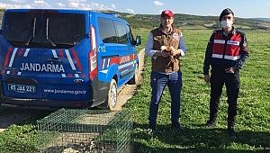 Köprübaşı'nda yaralı angut tedavi edilerek doğaya salındı