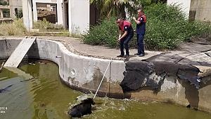 Muğla'da havuza düşen domuzları itfaiye ekibi kurtardı