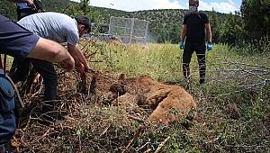 Bahçe teline takılan ayı ekiplerce kurtarıldı