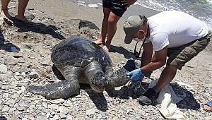 Kuşadası'nda 2 yeşil deniz kaplumbağası kıyıya vurdu