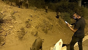 Şehre inen domuz sürüsünü ekmekle besledi