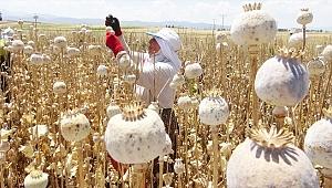 Afyonkarahisar'da haşhaş hasadı başladı