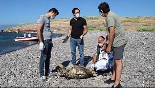 Foça'da sahile vurmuş ölü caretta caretta bulundu