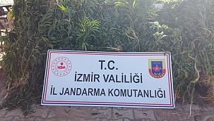 İzmir'de 1351 kök Hint keneviri ele geçirildi