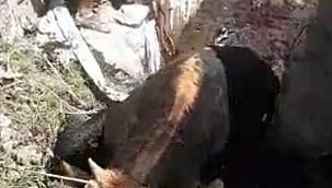 Muğla'da çamura batan ineği itfaiye kurtardı