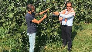 Siyah incir ihracatı 30 Temmuz'da başlıyor
