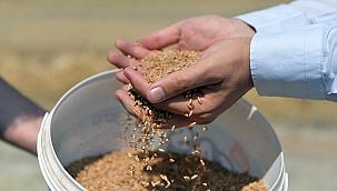 Yerli buğday tohumunun ekimi yaygınlaşıyor