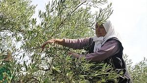 Zeytin ve zeytinyağı ihracatı haziranda 19 milyon doları aştı