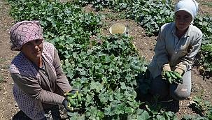 Barajların hayat verdiği topraklarda hasat heyecanı