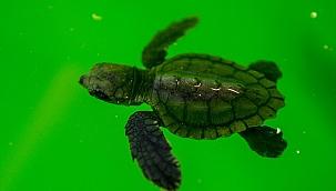 Deniz kaplumbağaraları Patara'da gözlem altında