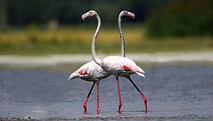 Flamingolar Van Gölü sahillerine renk katıyor