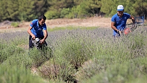 Muğla'da lavanta bahçelerinde hasat yapıldı