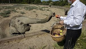 Türkiye'de doğan ilk fil, 3 tona ulaşarak yetişkinliğe adım attı