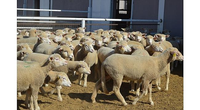 Damızlık koyunlar yoğun talep görüyor