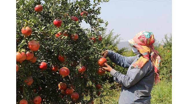 İzmir'de ihracatlık nar hasadı başladı