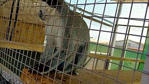 Manisa'da Rhesus cinsi 2 maymuna el konuldu