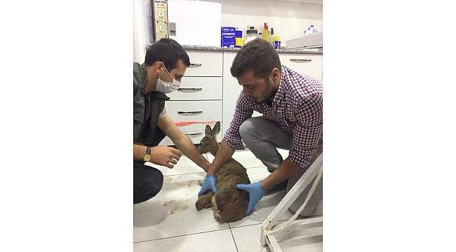 Manisa'da yaralı bulunan karaca tedavi altına alındı