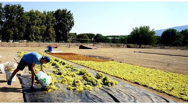 Sarıgöl'de kurutulacak üzümler futbol sahasına serildi