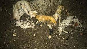 Denizli'de koyun tek batında 4 kuzu doğurdu