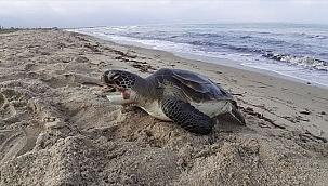 İki deniz kaplumbağası karaya vurdu