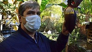 Muz ağacı fidanı diken çiftçi, ilk ürününü topladı