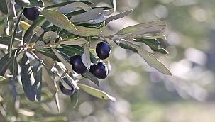 Sofralık zeytin ihracatının yaklaşık yüzde 60'ı 3 ülkeye yapıldı