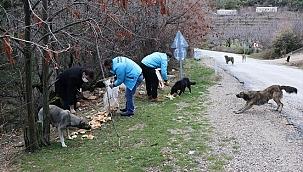 Spil Dağı'ndaki yılkı atları için doğaya yem bırakıldı