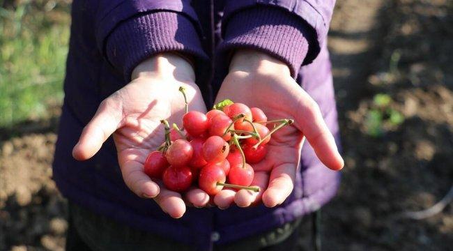Sezonun ilk kirazı Manisa'da hasat edildi