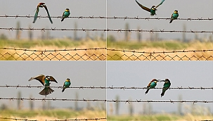Arı kuşlarının beslenme zamanı