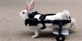 Felçli tavşana protez ayak!